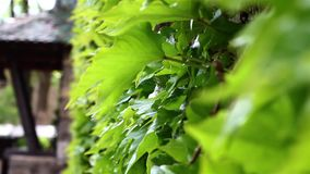 Green Ivy On the wall stock video footage
