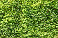 Green ivy royalty free stock image