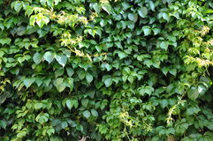 Green ivy on a wall of house Royalty Free Stock Images