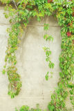 Green ivy on wall Royalty Free Stock Image