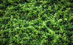 Green Ivy wall Royalty Free Stock Photo