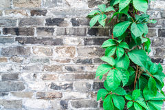 Green ivy wall on old vintage brick wall Stock Image
