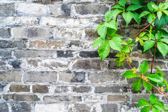 Green ivy wall on old vintage brick wall Stock Images