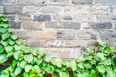 Green ivy wall on old vintage brick wall Royalty Free Stock Images