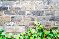 Green ivy wall on old vintage brick wall Royalty Free Stock Photography