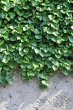 Green ivy on the wall Stock Photos