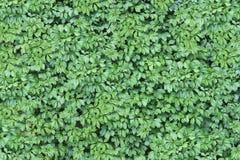 Green Ivy Wall Texture Royalty Free Stock Photo