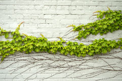 Green ivy wave Royalty Free Stock Images
