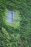 Green ivy on the window Royalty Free Stock Photos