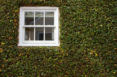 Green ivy window Stock Photography