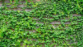 Green ivy on wood background. In the garden Stock Image