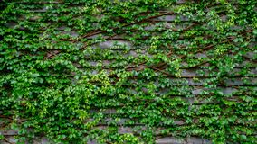 Green ivy on wood background Royalty Free Stock Image