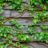 Green ivy on wood background Stock Photos