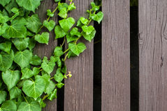 Green ivy and wood texture Royalty Free Stock Images