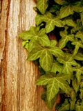 Green Ivy. And wood textures stock photography