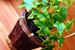 GREEN IVY IN POT Stock Images
