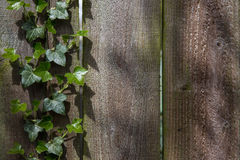 Green ivy on a wooden fence Stock Image
