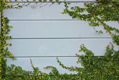 Green ivy on a wooden wall. Stock Images