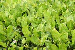 Green ixora plant leaves Stock Image