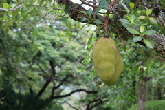 Green jack fruits on tree Royalty Free Stock Photography