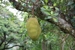 Green jack fruits on tree Stock Images
