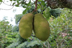 Green jack fruits on tree Royalty Free Stock Photo