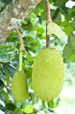 Green jackfruit Stock Images