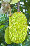 Green jackfruit Royalty Free Stock Photography