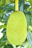 Green jackfruit Royalty Free Stock Photos