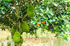 Green jackfruit Royalty Free Stock Photo