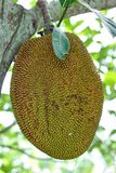 Green jackfruit. Fresh Jackfruit growing on a tree Royalty Free Stock Photo