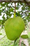 Green jackfruit Royalty Free Stock Photos