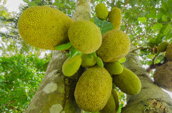 Green jackfruit. Growing in fruit garden is product  agriculture of Rayong Thailand Stock Image