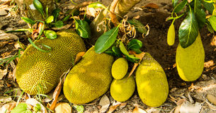 Green jackfruit Stock Photo