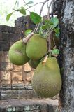 Green jackfruit Royalty Free Stock Images