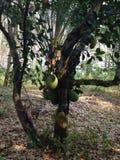 Green Jackfruit Stock Photo
