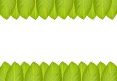 Green jackfruit leaf Stock Images
