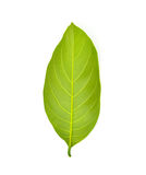 Green jackfruit leaf Stock Image