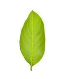 Green jackfruit leaf Stock Image