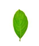 Green jackfruit leaf Royalty Free Stock Photography