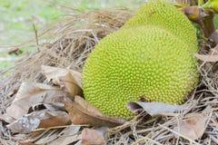 Green jackfruit on straw Stock Photo