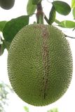 Green Jackfruit. Taken from Thailand Royalty Free Stock Image