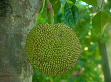 Green jackfruit on tree Royalty Free Stock Image