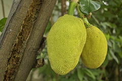 Green jackfruit on tree Stock Photography