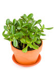 Green jade plant on white background. Stock Photos