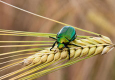 A green Japanese beetle on a wheat stalk. A green Japanese beetle on the head of a wheat stalk royalty free stock photos
