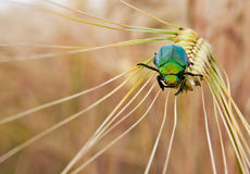 A green Japanese beetle on a wheat stalk. A green Japanese beetle on the head of a wheat stalk royalty free stock photo