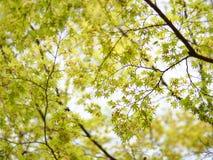 Green Japanese maple branch stock photo
