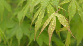 Green Japanese maple leaves natural background stock video
