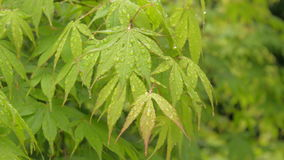 Green Japanese maple leaves natural background stock footage